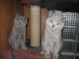 Foto 4 Britische Kätzchen mit Stammbaum