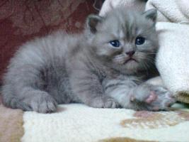 Britischekurzhaar Kitten >Reutlingen