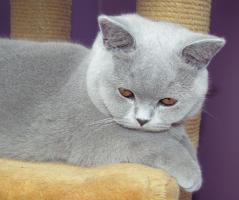 British Kurzhaar Katze