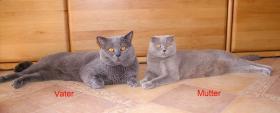 Foto 3 British Kurzhaar Kitten