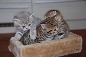 British Kurzhaar Whiskas Tabby Kitten Lilac & Golden spotted abzugeben