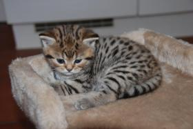Foto 2 British Kurzhaar Whiskas Tabby Kitten Lilac & Golden spotted abzugeben