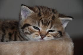 Foto 3 British Kurzhaar Whiskas Tabby Kitten Lilac & Golden spotted abzugeben