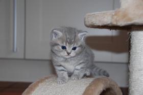 Foto 4 British Kurzhaar Whiskas Tabby Kitten Lilac & Golden spotted abzugeben