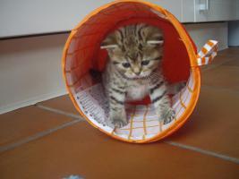 Foto 6 British Kurzhaar Whiskas Tabby Kitten Lilac & Golden spotted abzugeben