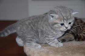 Foto 7 British Kurzhaar Whiskas Tabby Kitten Lilac & Golden spotted abzugeben