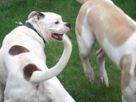 Foto 2 Bulldogge*Bulldog*Hündin mit Papieren