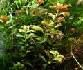 Bunte Ludwigie (Mesakana),  Wasserpflanzen, Versand