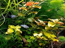 Foto 2 Bunte Ludwigie (Mesakana),  Wasserpflanzen, Versand
