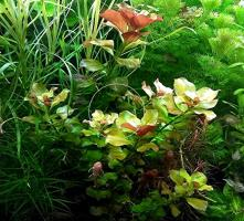 Foto 3 Bunte Ludwigie (Mesakana),  Wasserpflanzen, Versand