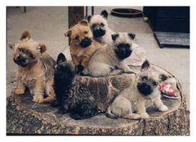 CAIRN TERRIER WELPEN: Harmonisches Hundeparadies seit 30 Jahren!!