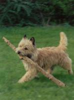 Foto 2 CAIRN TERRIER WELPEN: Harmonisches Hundeparadies seit 30 Jahren!!