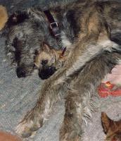 Foto 3 CAIRN TERRIER WELPEN: Harmonisches Hundeparadies seit 30 Jahren!!