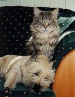 Foto 4 CAIRN TERRIER WELPEN: Harmonisches Hundeparadies seit 30 Jahren!!