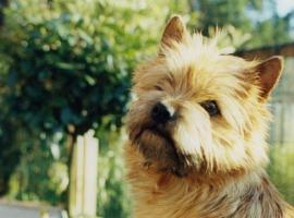 Foto 5 CAIRN TERRIER WELPEN: Harmonisches Hundeparadies seit 30 Jahren!!