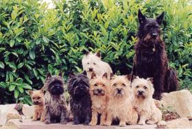 Foto 6 CAIRN TERRIER WELPEN: Harmonisches Hundeparadies seit 30 Jahren!!