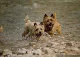 Foto 7 CAIRN TERRIER WELPEN: Harmonisches Hundeparadies seit 30 Jahren!!