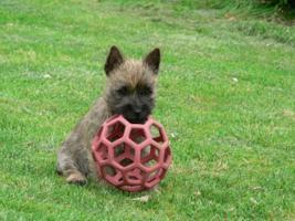 Foto 11 CAIRN TERRIER WELPEN: Harmonisches Hundeparadies seit 30 Jahren!!