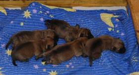 Foto 5 Cairn Terrier Welpen VDH/KFT