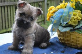 Cairn Terrier Welpen VDH/KFT