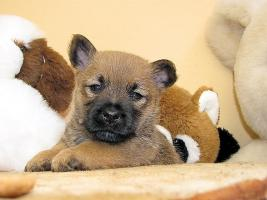 Foto 2 Cairn-Terrier von-der-Iburg...einfach super