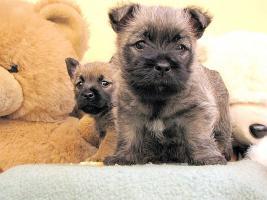 Foto 4 Cairn-Terrier von-der-Iburg...einfach super