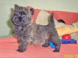 Foto 5 Cairn-Terrier von-der-Iburg...einfach super