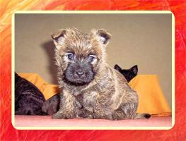 Foto 6 Cairn-Terrier von-der-Iburg...einfach super
