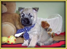 Foto 8 Cairn-Terrier von-der-Iburg...einfach super