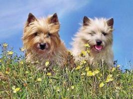 Foto 9 Cairn-Terrier von-der-Iburg...einfach super