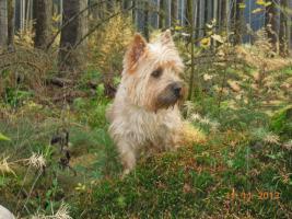 Foto 10 Cairn-Terrier von-der-Iburg...einfach super