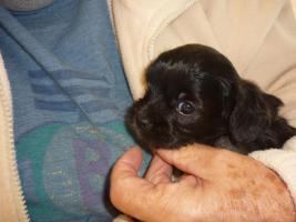 Caluga Welpen, kleine Hunde Babys
