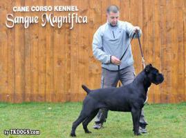 Foto 3 Cane Corso Welpen zu verkaufen