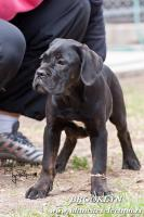 Cane Corso wunderbare Hundin