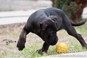 Foto 2 Cane Corso wunderbare Hundin