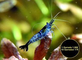 Carbon Rili Blue, Zwerggarnele, reinerbig (Versand)