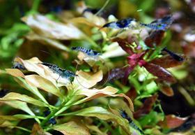 Foto 7 Carbon Rili Blue, Zwerggarnele, reinerbig (Versand)