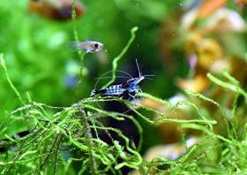 Foto 9 Carbon Rili Blue, Zwerggarnele, reinerbig (Versand)