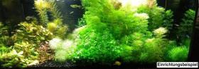 Foto 10 Carbon Rili Blue, Zwerggarnele, reinerbig (Versand)