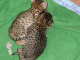 Cattery Albisavannah CZ - Savannah Kätzchen F3 C und F7 SBT