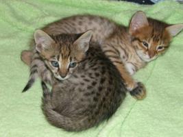 Foto 2 Cattery Albisavannah CZ - Savannah Kätzchen F3 C und F7 SBT