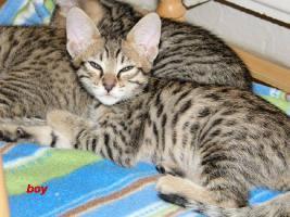 Cattery Albisavannah vergibt 3 niedliche Savannah Kätzchen F7 SBT