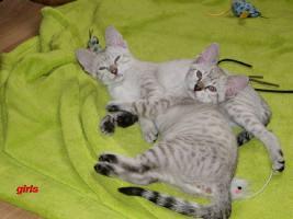 Foto 2 Cattery Albisavannah vergibt 3 niedliche Savannah Kätzchen F7 SBT