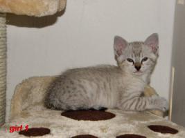 Foto 3 Cattery Albisavannah vergibt 3 niedliche Savannah Kätzchen F7 SBT