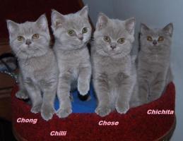Cattery vergibt Kätzchen Britisch Kurzhaar mit Papiere