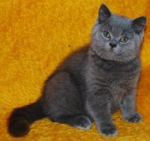 Foto 2 Cattery vergibt Kätzchen Britisch Kurzhaar mit Papiere