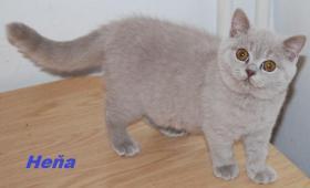 Foto 3 Cattery vergibt Kätzchen Britisch Kurzhaar mit Papiere