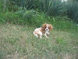 Cavalier King Charles Spaniel Mix Welpen