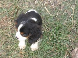 Foto 3 Cavalier King Charles Spaniel Mix Welpen