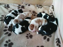 Cavalier King Charles Spaniel puppies with pedigree